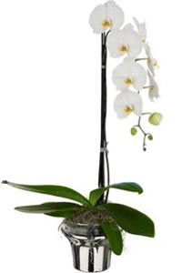Harrods opens Georg Jensen Concession and offers Customers a change to buy A limited edition Wild at Heart Orchid with vase